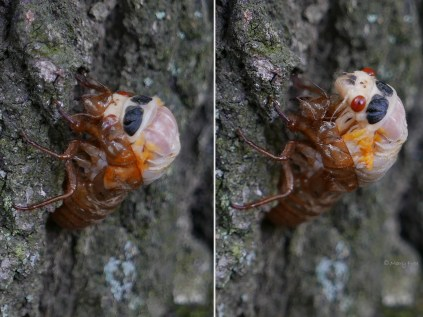 A split in its exoskeleton forms between the eyes to the end of the thorax and widens as the cicada frees its head at 7:41 a.m. and 7:50 a.m. Photo © Mary Free