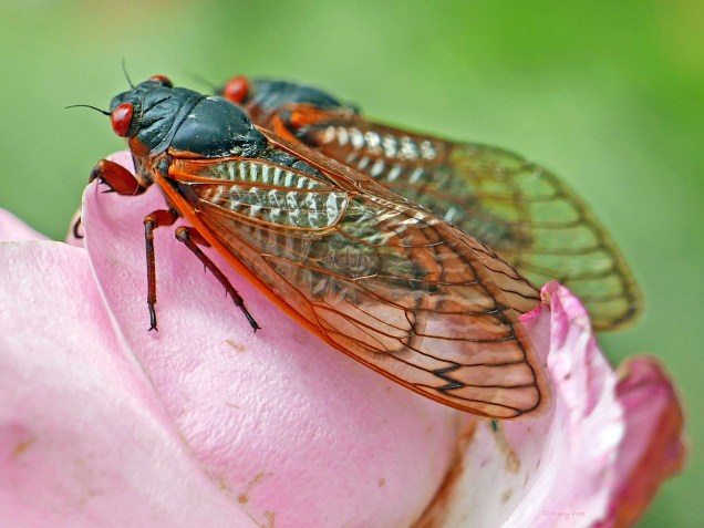 Two Brood X cicadas on fading rose petals on May 25, 2021. Photo © Mary Free