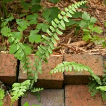 The pinnate frond of Asplenium platyneuron (ebony spleenwort) is divided into segments completely separated from each other arranged alternately. Photo © Mary Free