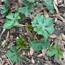 Geranium maculatum (Wild Geranium) emerging leaves in March. Photo © Elaine Mills