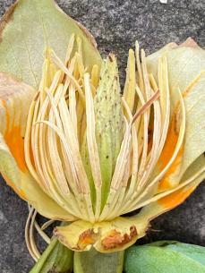 Liriodendron tulipifera (Tuliptree) developing fruit in May. Photo © Elaine Mills