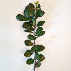 Alternate leaf arrangement of southeast native Ilex vomitoria 'Nana' (dwarf yaupon holly).Photo © Christa Watters