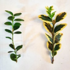 Opposite leaf arrangements of Buxus sempervirens (boxwood, left) and Buxus sempervirens 'Aureovariegata' (variegated boxwood, right). Photo © Christa Watters