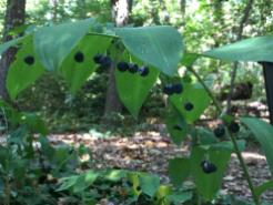 Polygonatum biflorum (Solomon's-seal) fruit in September. Photo © Elaine Mills