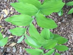 Polygonatum biflorum (Solomon's-seal) leaves in April. Photo © Elaine Mills