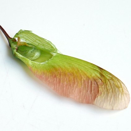 An Acer rubrum (red maple) achene with an extended, wing-like pericarp. Photo © Mary Free