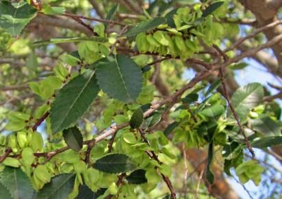 Samaras of invasive Ulmus parviflora (Chinese elm) in October. Photo © Elaine Mills