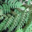 Underside of fertile pinnae of Dryopteris marginalis (marginal wood fern) in June. Photo © Elaine Millls