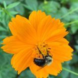 Bumble bee on Cosmos sulphureus 'Bright Lights.' Photo © Nancy Brooks