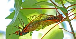 Two Brood X cicadas mating on Acer rubrum (red maple) on May 31, 2021. Photo © Mary Free