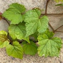 Palmately veined leaves of Ampelopsis brevipendiculata (porcelainberry) resemble grape leaves, but porcelainberry stem pith is white compared to brown grape stem pith. Photo © Elaine Mills