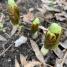 Podophyllum peltatum (mayapple) leaves emerging in March.Photo © Elaine Mills