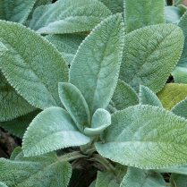 Woolly leaves of Stachys byzantina (lamb's ear) in October. Photo © Mary Free