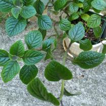 Spindly plant needs pruning Photo © Linda Cornish Blank