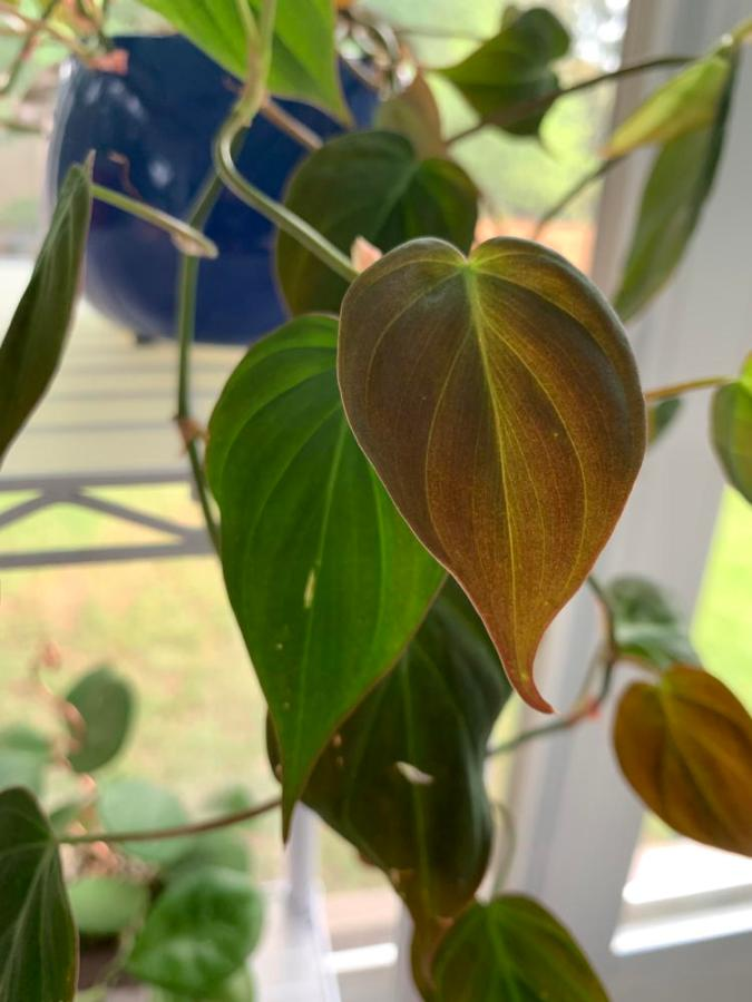 bronze leaves on philodendron hedera m