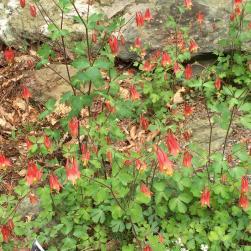 Aquilegia canadensis flowers en masse at the U.S. National Arboretum in April. Photo © Elaine Mills