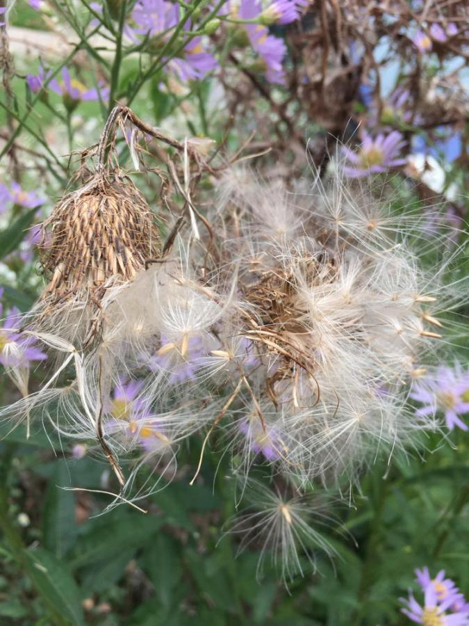 Fluffy field thistle down