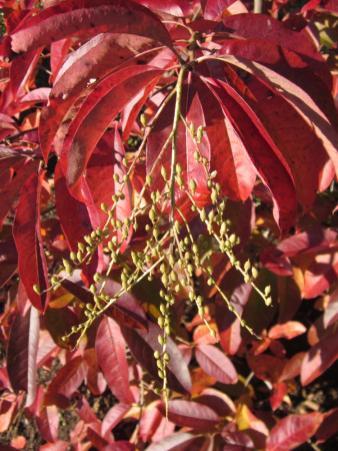 Sourwood fruit in October.Photo © Elaine L. Mills