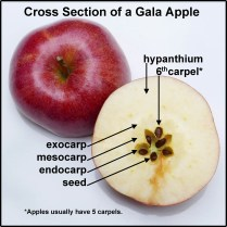 Apples usually have five carpels or seed chambers. Although this Malus domestica 'Gala' appeared normal on the outside, the cross section revealed a sixth carpel of irregular form. Image © Mary Free
