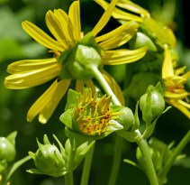 Glabrous peduncles and mostly glabrous phyllaries of native Silphium perfoliatum (cup plant) in June. Photo © Mary Free