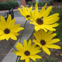 Narrow-leaved sunflower blooms