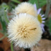 Pappi of capillary bristles of native Erigeron pulchellus (Robin's plantain) in April.Photo © Elaine Mills
