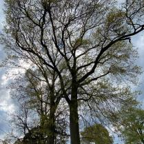 Red oak grows from 50 to 75 feet tall