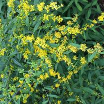Yellow flowers of Blue-stemmed goldenrod