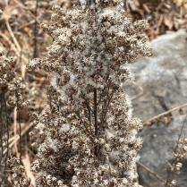 Seeds of gray goldenrod in winter
