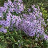 New England aster adds architectural interest to a garden
