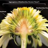 Bisection of sterile double-flowered cultivar (Echinacea 'Meteor yellow')