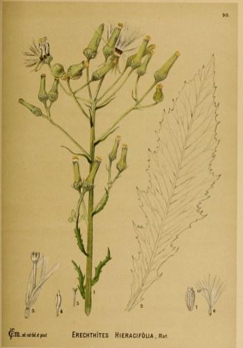 Erechtites hieraciifolius. courtesy American medicinal plants by Charles Frederick Millspaugh
