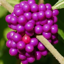 Four nutlets are encased within each drupe of Callicarpa americana (American beauty-berry). Photo © Mary Free