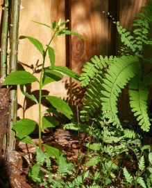 An Erechtites hieraciifolius plant hides beside native Adiantum pedatum in a fern border in a mostly shady spot in September. Photo © Mary Free