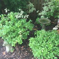 Two 'Little Henry' bushes in garden with birdbath