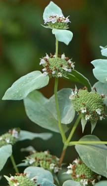 Terminal and axillary, densely packed verticillasters subtended by canescent bracts of native Pycnanthemum muticum (short-toothed mountain mint) in July. Photo © Mary Free