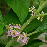 Axillary cymes of native Callicarpa americana (American beauty-berry) in July.Photo © Mary Free