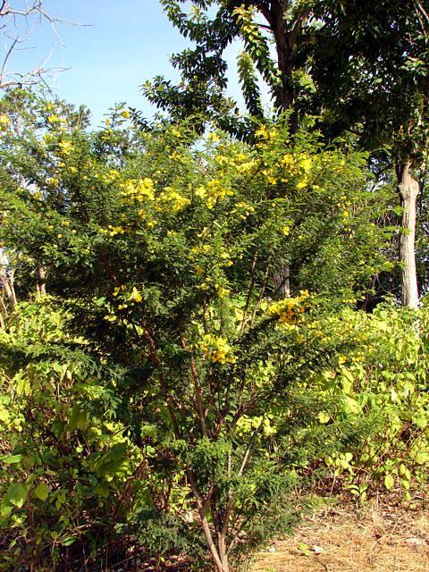 Golden Shower Tree Golden Rain Tree Senna Fistula X