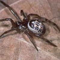 False Widows