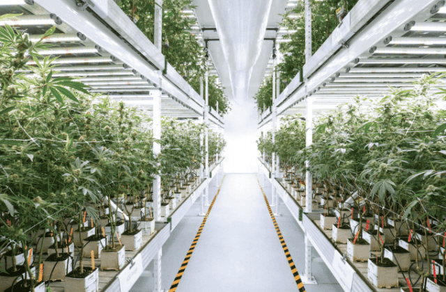 Marijuana Growing Technology