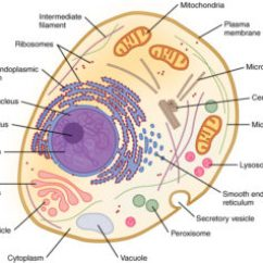 Eukaryotic Endomembrane System Cell Diagram Caravan 13 Pin Socket Wiring 4 7 The Mt Hood Community College Biology 112 Figure 1 Components Of Can Be Seen In This A Typical Human