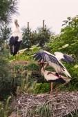 Le Theich : Cigognes (des petits en vue...)