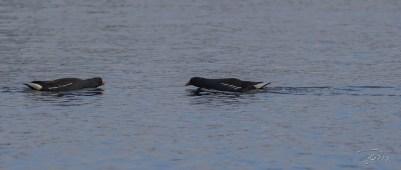 Gallinules - Poules d'eau