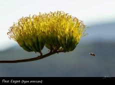 Fleur d'agave