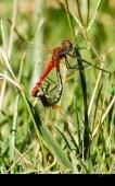 Libellules amoureuses (Sympetrum fonscolombii)