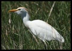 Heron gardeboeuf