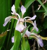 Iris fétide