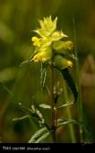Petit cocriste (rhinanthus minor)