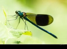 Calopteryx splendens (mâle)