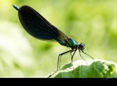 Calopteryx virgo (mâle)